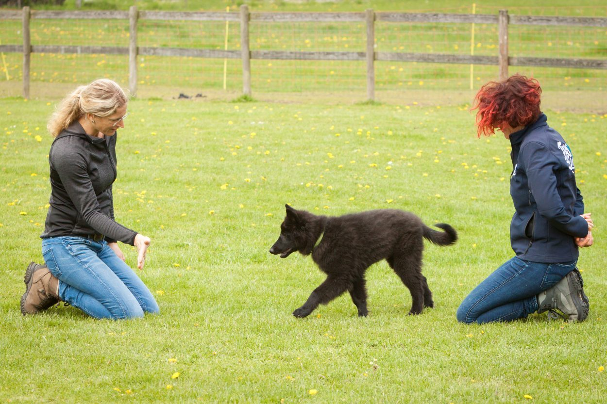 puppycursus puppy training clickertraining