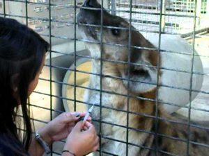 hyena vrijwillige bloedafname, keus