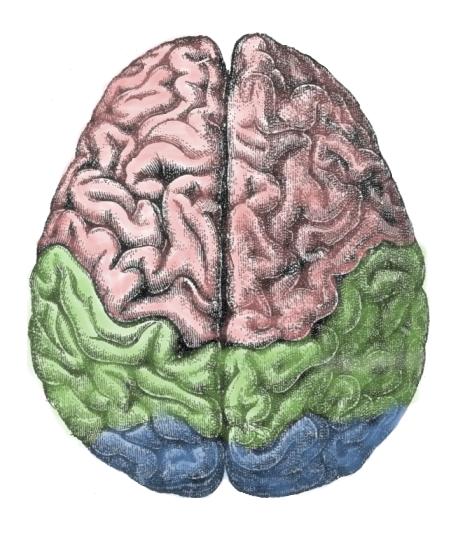 hersenen, meesterbrein
